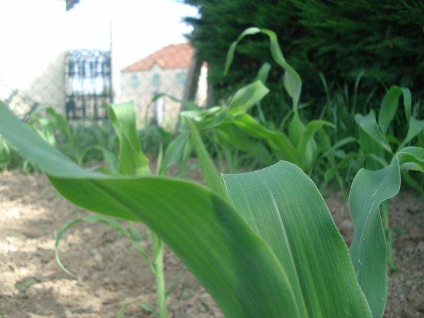 Mon maïs le 02/06/2012