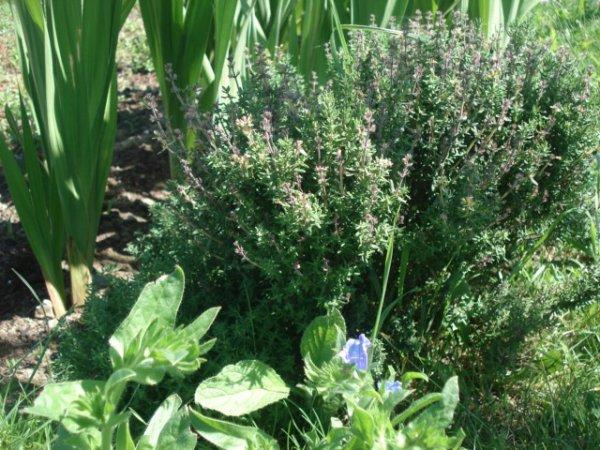 Fleurs ----> Glaïeuls & Jachère fleuri le 16/06/2012