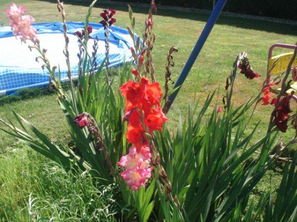 Fleurs ----> Glaïeuls & Jachère fleuri le 13/07/2012
