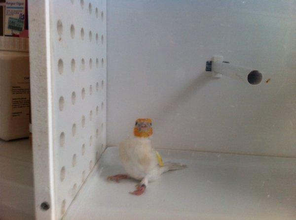 Femelle satiné brune opale propre élevage