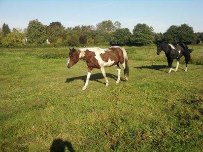 nos chevaux au troupeaux