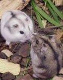 Photo de Hamster-17