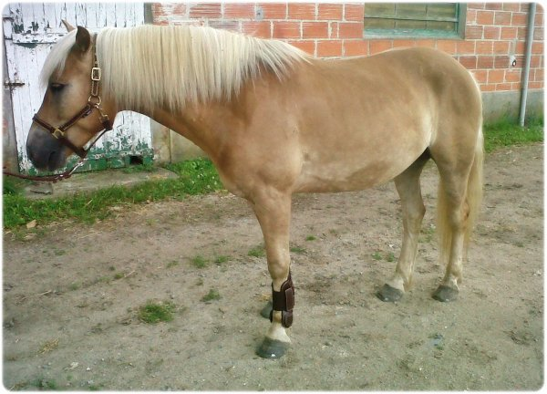Petit poney de dressage