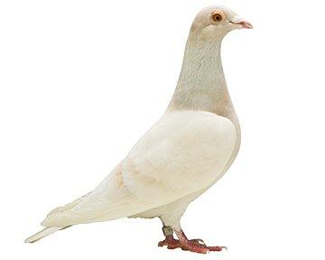differente couleur de pigeon voyageur en amerique