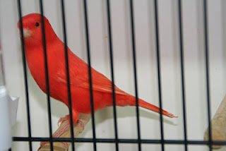 Lipochrom red