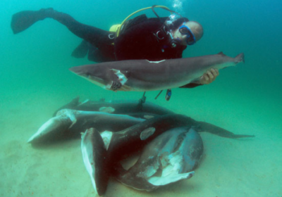Shark Alliance & Passion des requins