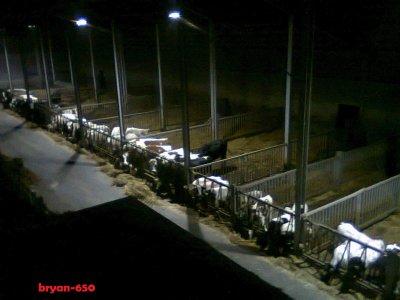 étable vaches laitière