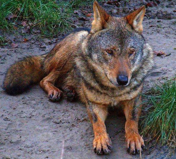 Le Loup Ibérique (sous-espèce)