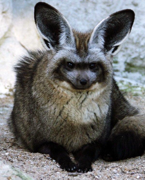 Le Renard à oreilles de chauve-souris