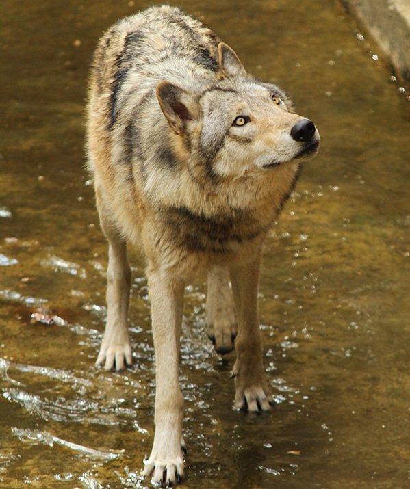 Le Loup de l'Est