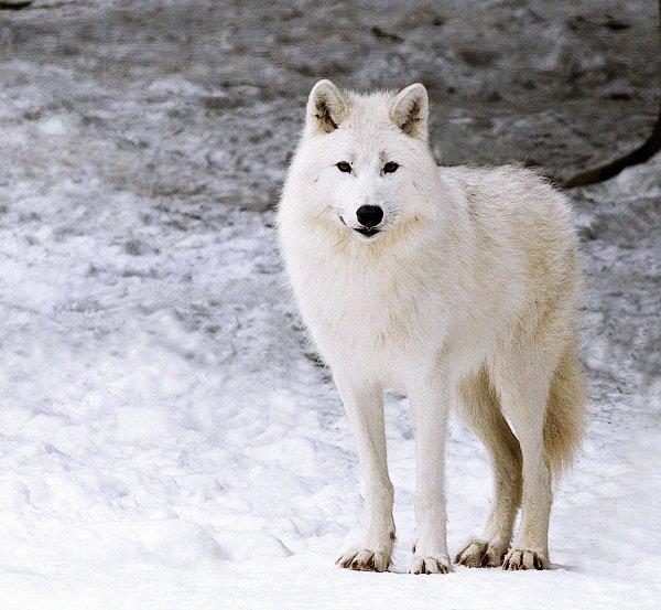 Le Loup Arctique (sous-espèce)