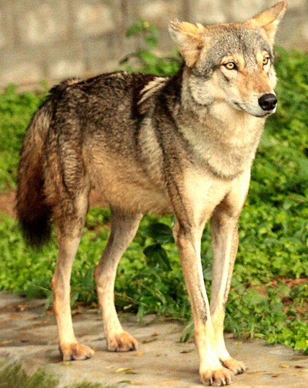 Le Loup des Indes