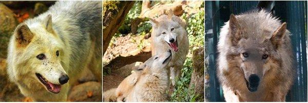 Le Loup de l'Himalaya