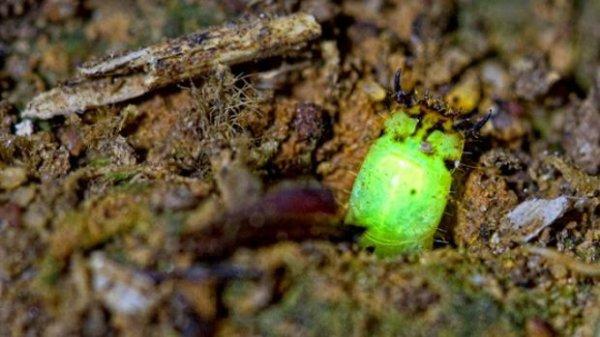 Une mystérieuse larve luminescente découverte au Pérou.