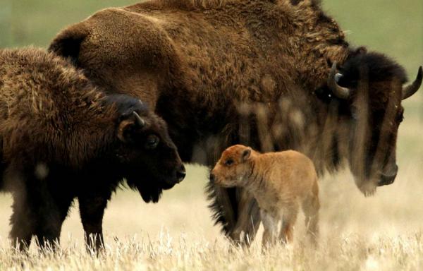 Un bison sauvage est né en Illinois et c'est une grande première depuis... 200 ans.