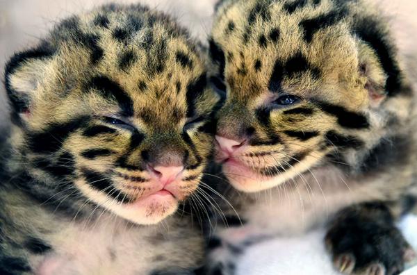 2 panthères nébuleuses sont nées au zoo de Miami.