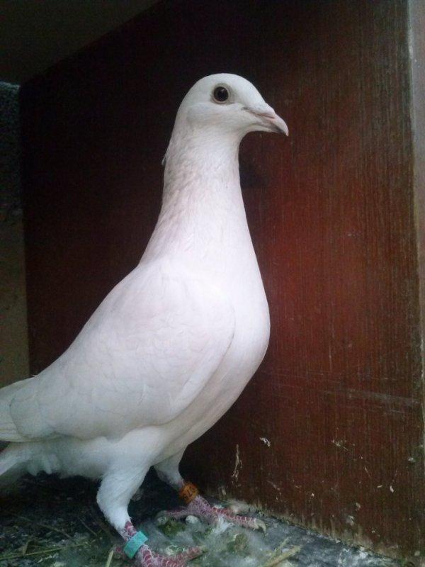 voila mon pigeon 2012 mai bagué 2011