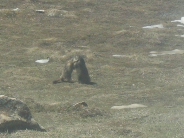 Les marmotte