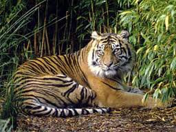 Le Tigre de Sumatra .