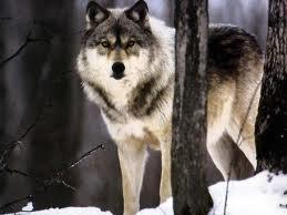 Le Loup .