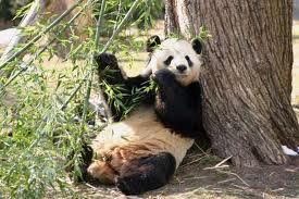 Le panda Géant .
