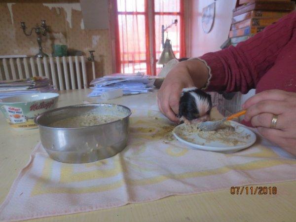 Havana n'a presque plus de lait, donc, pré sevrage des chiots