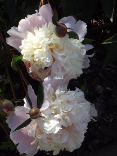 Pivoines fleuries