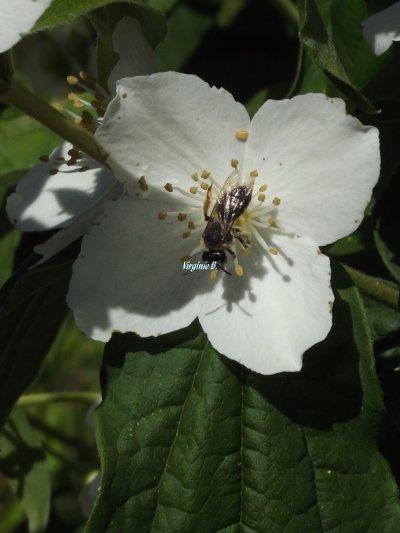 Un Insecte volant dans le Seringat