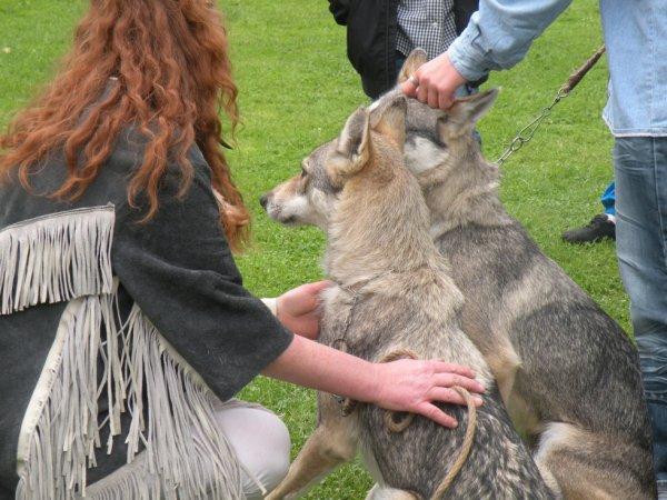 des loups à divion
