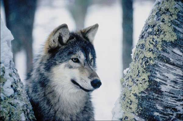 Full Moon's Wolves / Chapitre 11