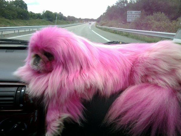 ho un chien rose !! j'ai teint la chienne ...et moi avec hihi