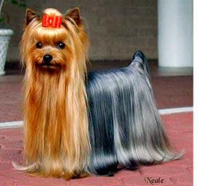 C coiffures pour chien n le centre des chiens - Modele de coupe pour yorkshire terrier ...