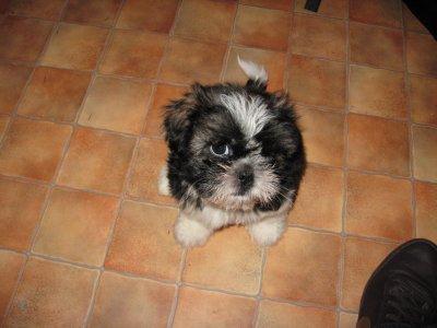 Mon chien : guizmo :)
