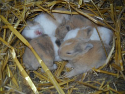 """naissance de lapins """"extra nain """""""