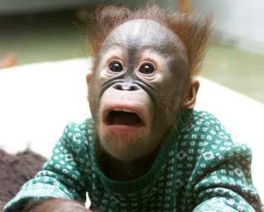 """Résultat de recherche d'images pour """"singe étonné"""""""