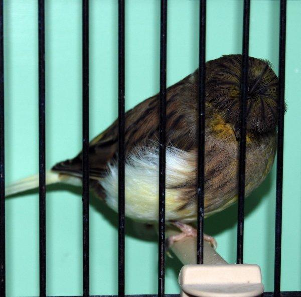 femelle corona vert schimmel