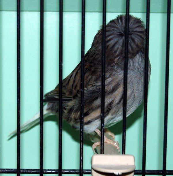 mâle corona bleu 2