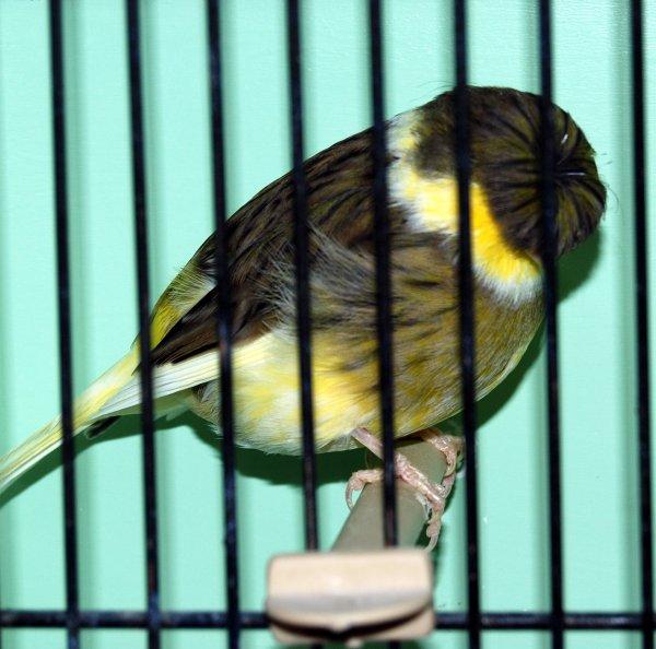 mâle corona vert panaché