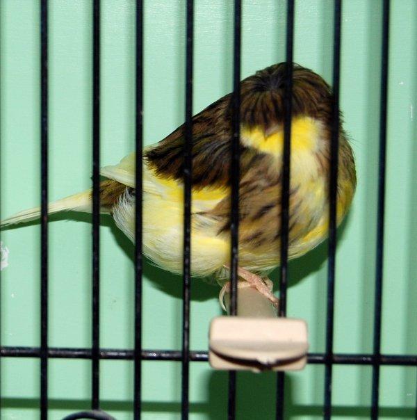 femelle corona panaché