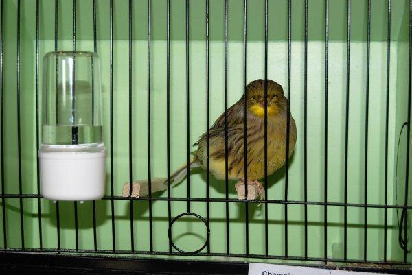Quelques oiseaux au One Day Gloster Show de Liège (Ans) 2016 suite