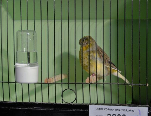 Quelques oiseaux au Kempen troffee 2016 suite ....
