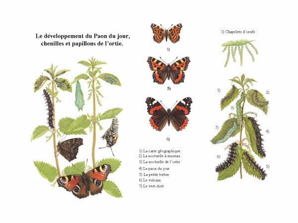 Les papillons et l'ortie ...