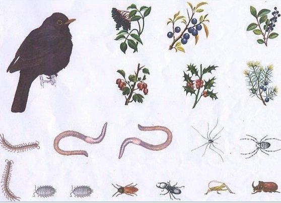 Turdus merula
