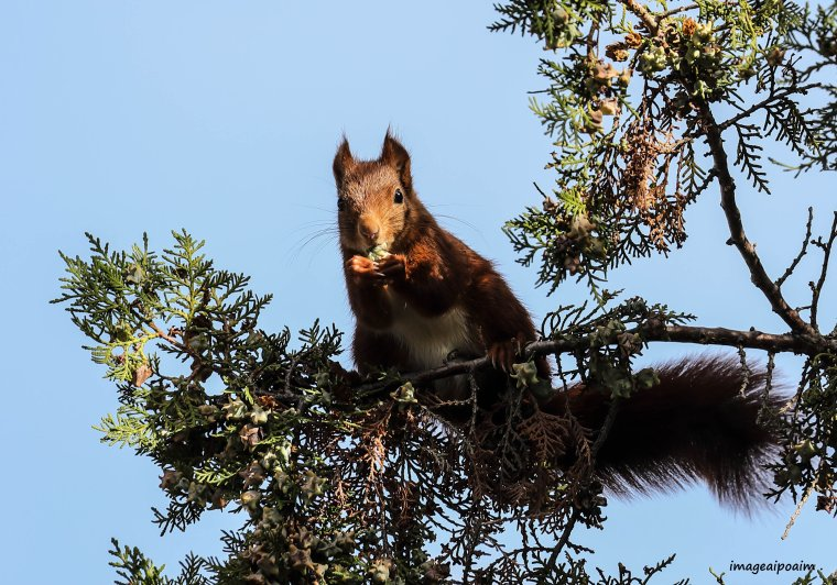 Ecureuil roux ...