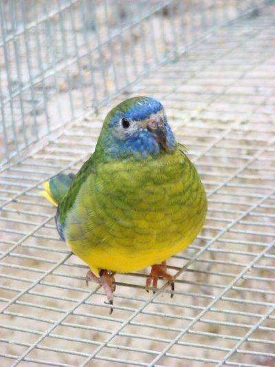 """Femelle turquoisine vert foncé 93 pts """"Meilleur oiseau du festival"""" CDE 2009"""