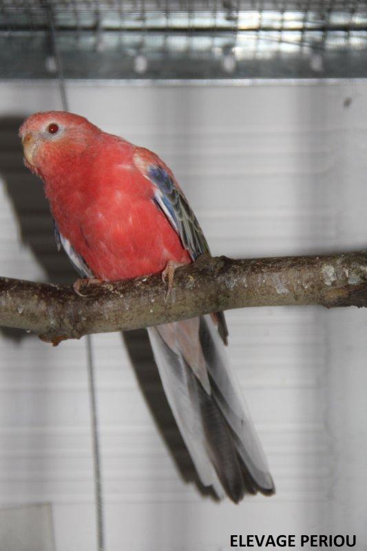 Bourke Opaline Pâle Fallow (mâle)