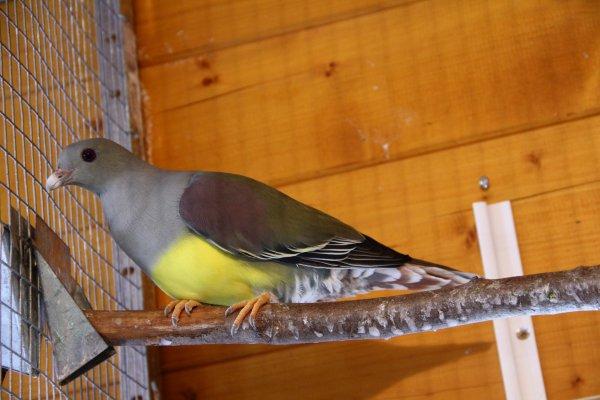 Pigeon frugivore : Treron Waalia