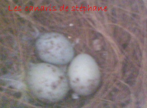 Les canaris de stephane