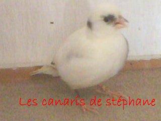 Les canaris de stéphane