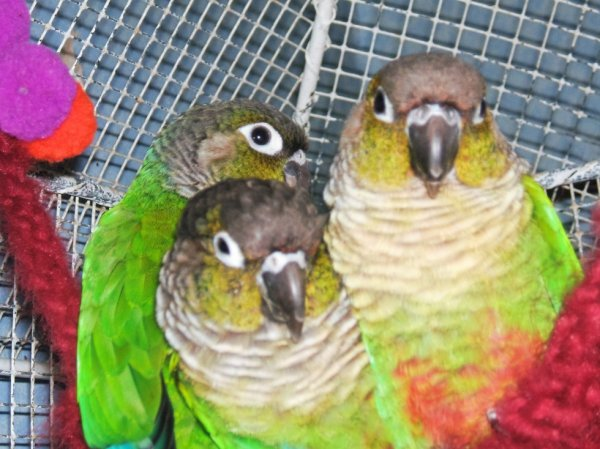 Mes conures